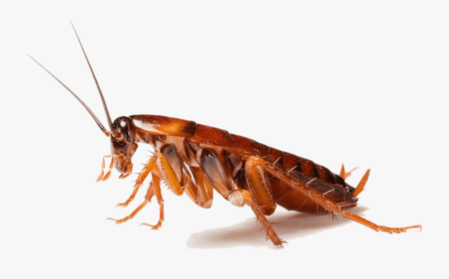 Cockroach Insect Pest Control - Cockroaches Png, Transparent Clipart