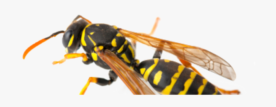 Clip Art Picture Of A Wasp - Hornet, Transparent Clipart