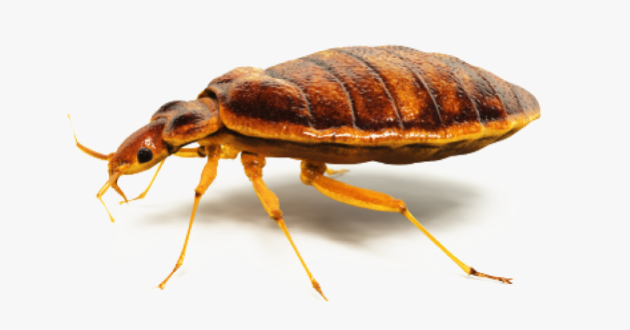 Clip Art Bed Bugs Knox Pest - Bed Bugs Control Png, Transparent Clipart
