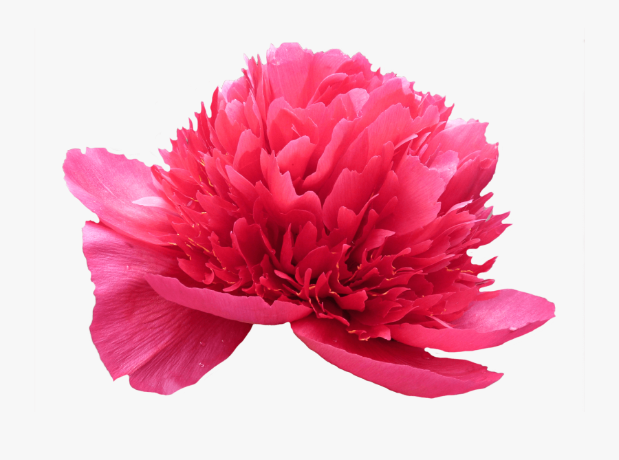 Clip Art Henry Bockstoce Peony - Artificial Flower, Transparent Clipart