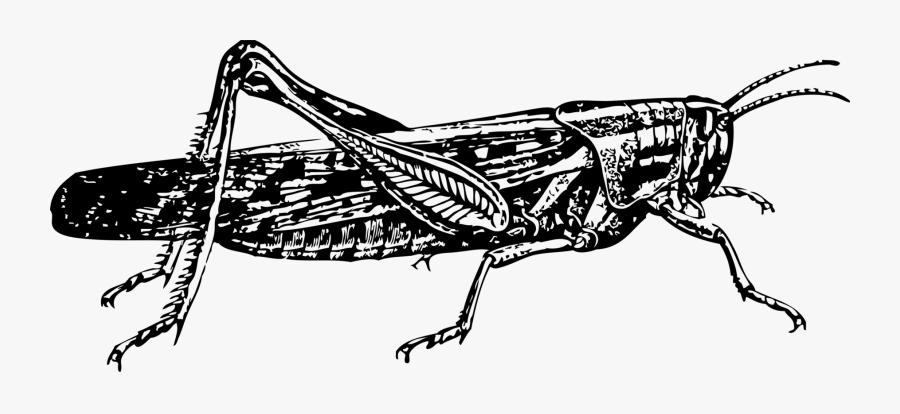 Art,monochrome Photography,carnivoran - Locust Clip Art, Transparent Clipart