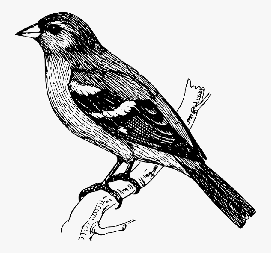 Bird On Branch Drawing, Transparent Clipart