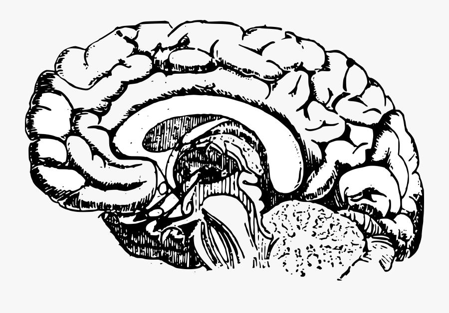 Brain Diagram Vector Clipart Image Free Stock Photo ...
