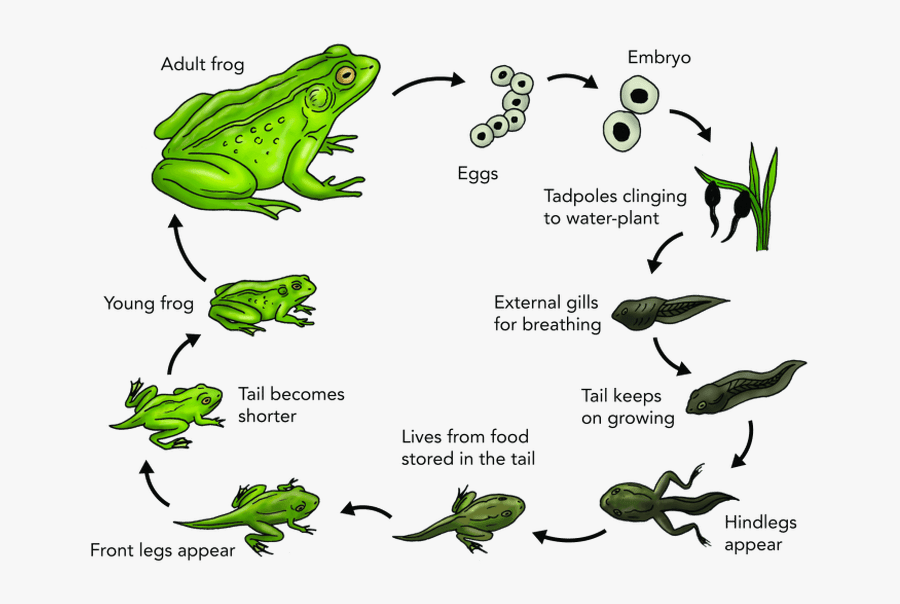 Frog Transparent Egg - Life Cycle Of A Frog Explanation, Transparent Clipart