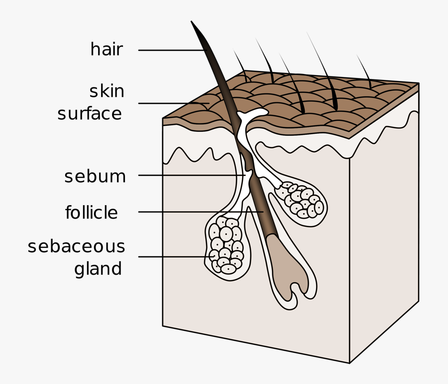Tfw You Have An - Draw The Integumentary System, Transparent Clipart
