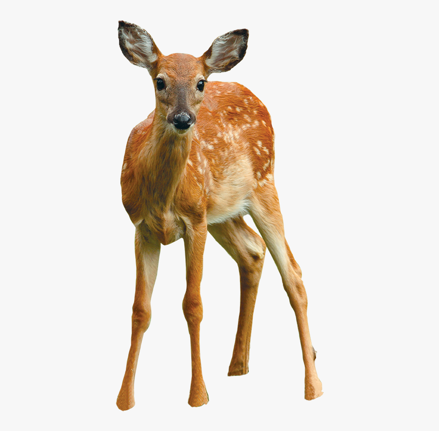 """Fawny Look """"why Are You Looking At Me 'fawny'"""" """"this - White-tailed Deer, Transparent Clipart"""