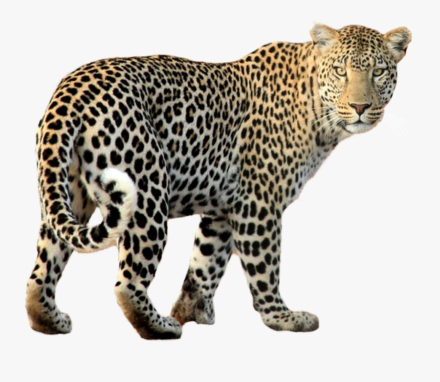 Leopard Clipart Fast Cheetah - Leopard Png, Transparent Clipart