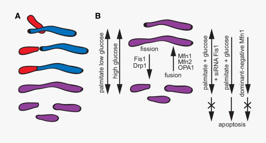 Scheme Illustrating How Mitochondrial Matrix Components - Low Glucose Mitochondrial Fusion, Transparent Clipart