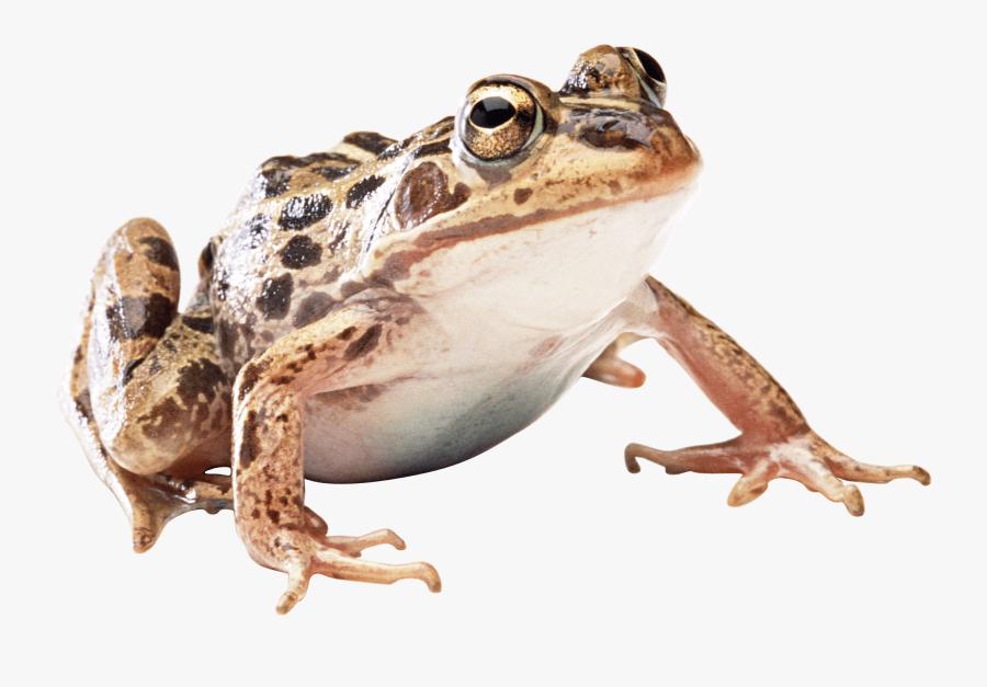 Toad Transparent Background - Wood Frog Transparent Background, Transparent Clipart