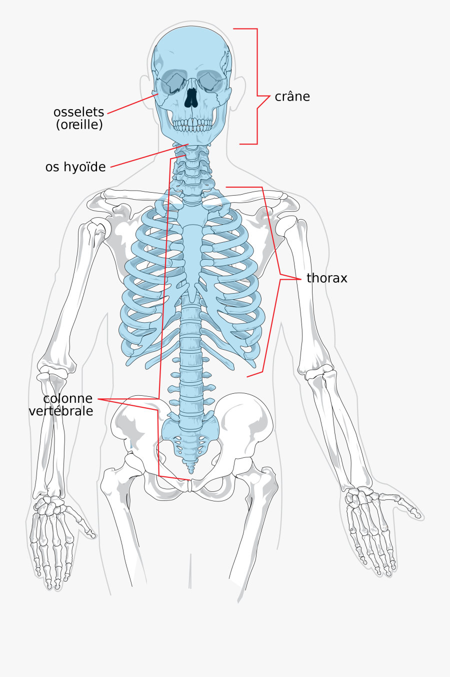 Transparent Skeletal System Clipart - Axial Skeleton X Ray, Transparent Clipart