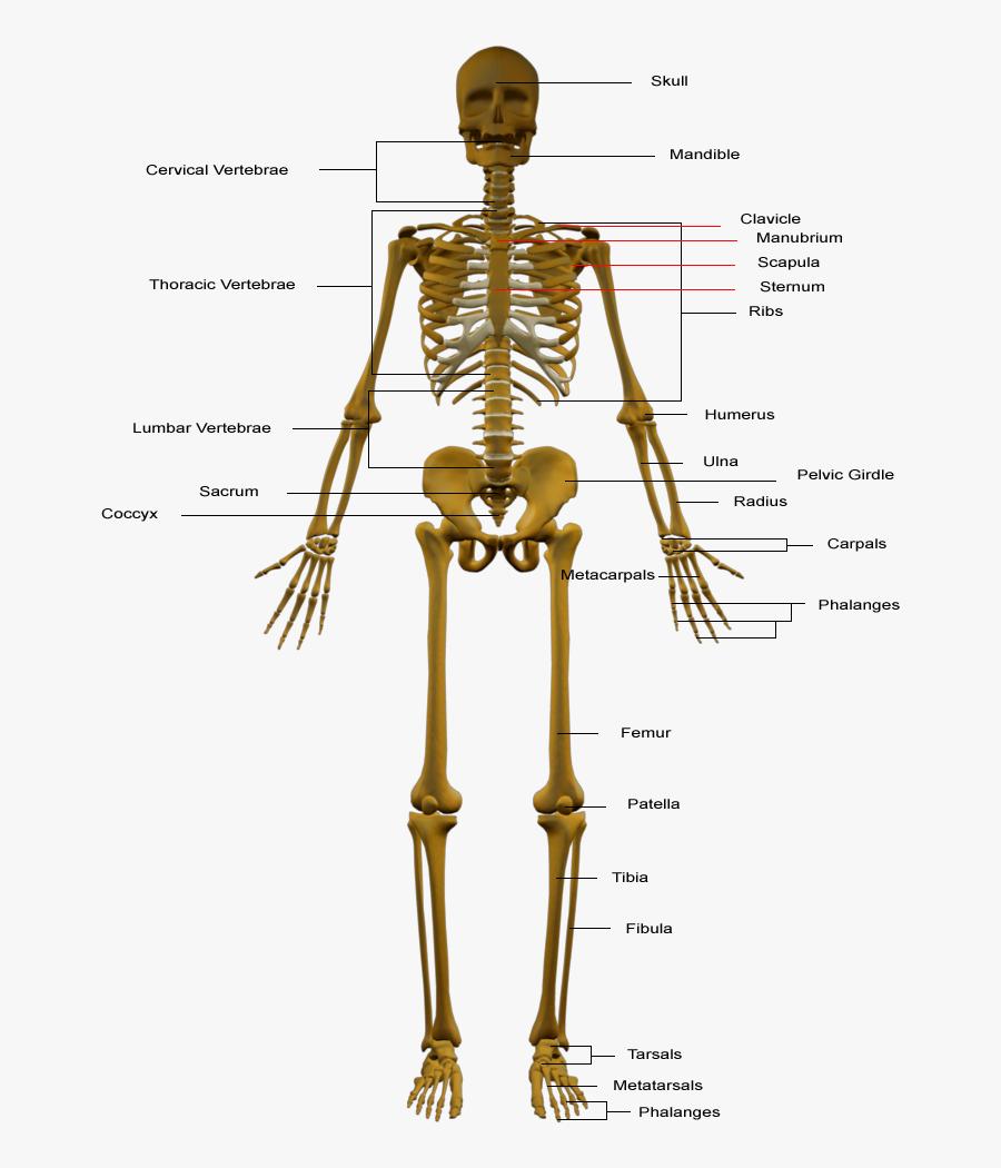 Transparent Skeletal System Png - Parts Of Skeleton System, Transparent Clipart