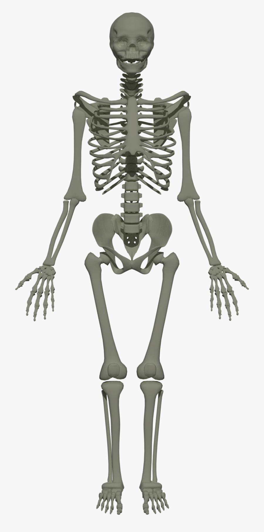 201805 Human Skeleton - Axial Skeleton Skull Thoracic Cage Vertebral, Transparent Clipart