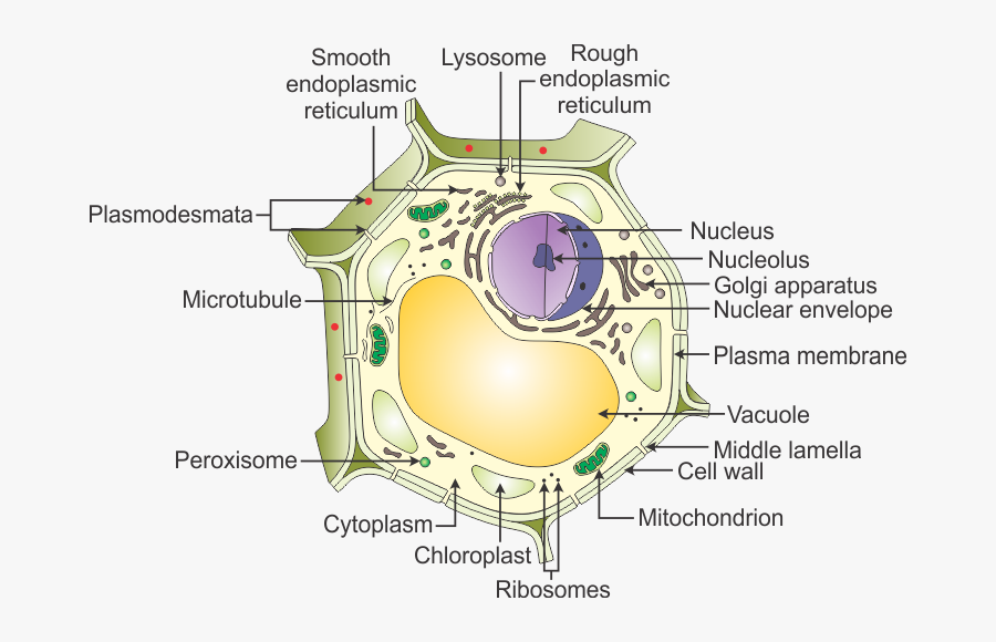 A Draw A Neat Diagram Of A Plant Cell And Label The ...