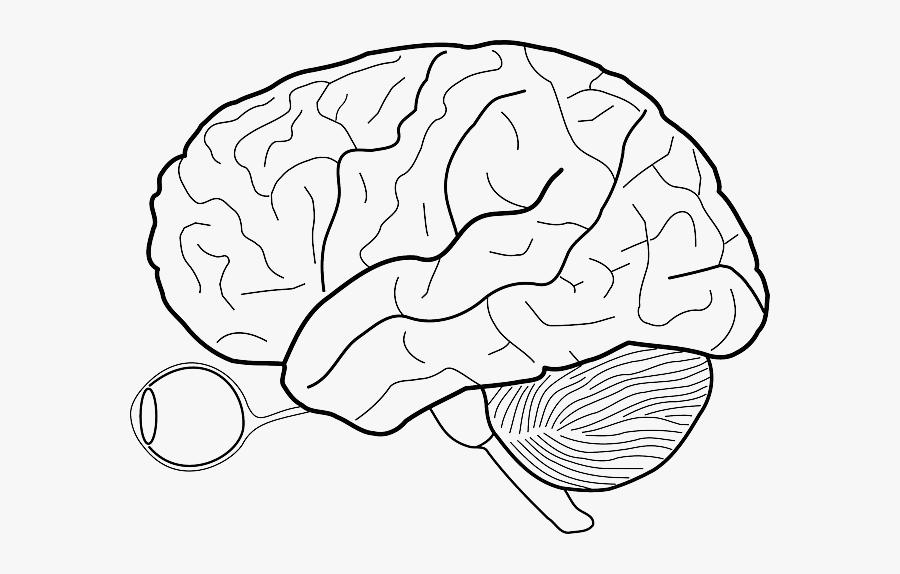 Transparent Cerebellum Clipart - Diagram Of Brain Without Labels, Transparent Clipart