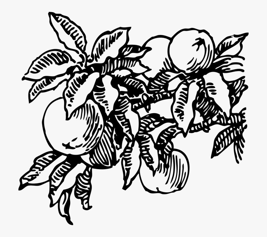 Peach, Fruit, Tree, Peaches - Peach Tree Black And White, Transparent Clipart