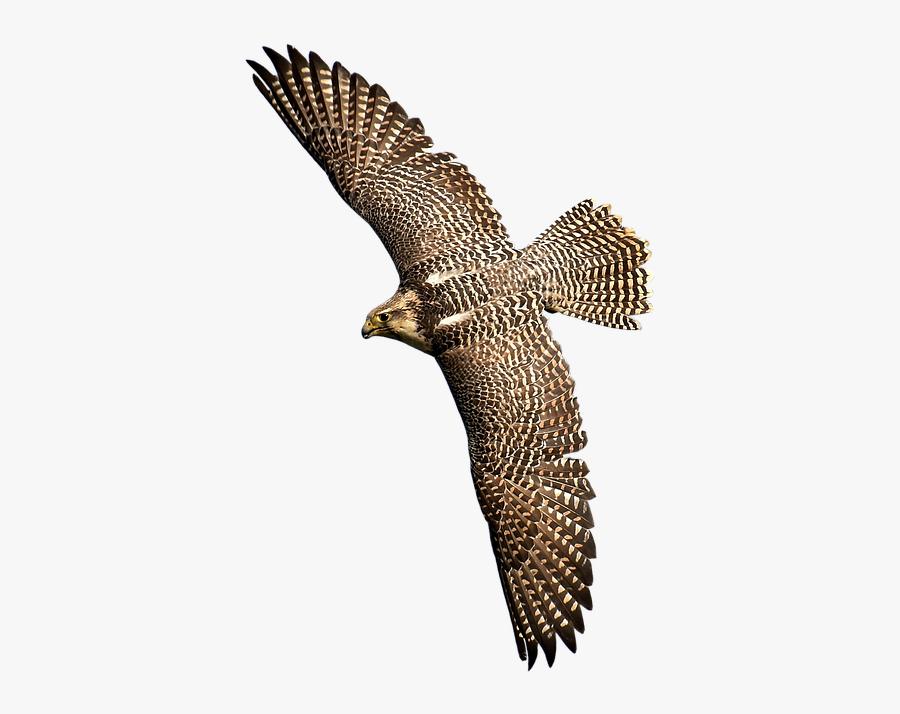 Falcons Bird Transparent, Transparent Clipart