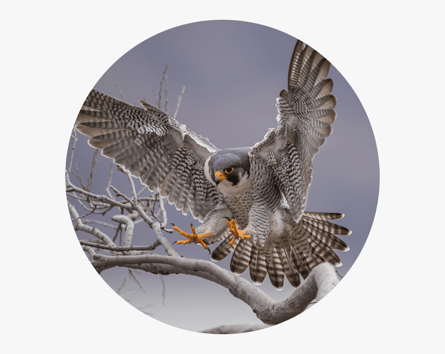 She Loves Raptors, Especially Peregrine Falcons, Because - Peregrine Falcon, Transparent Clipart