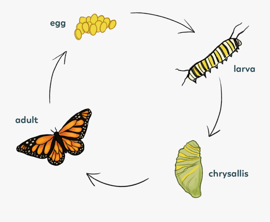Butterrly-cycle - Skipper Butterfly Life Cycle, Transparent Clipart