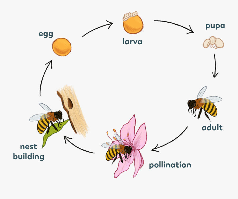 Solitary-bee - Solitary Bee Life Cycle, Transparent Clipart