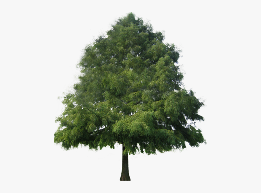 Cypress Tree Png - Conifers Non Flowering Plants, Transparent Clipart