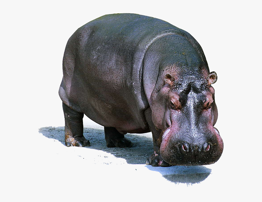 Hippo Png Images - Wildlife Lion Domestic And Wild Animals, Transparent Clipart