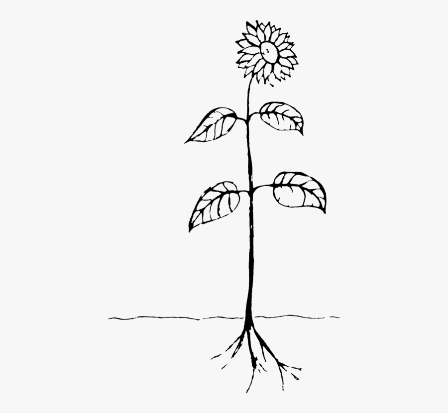 Art,symmetry,monochrome Photography - Drawing Of A Plant, Transparent Clipart