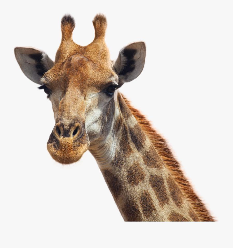 Giraffe Png, Transparent Clipart