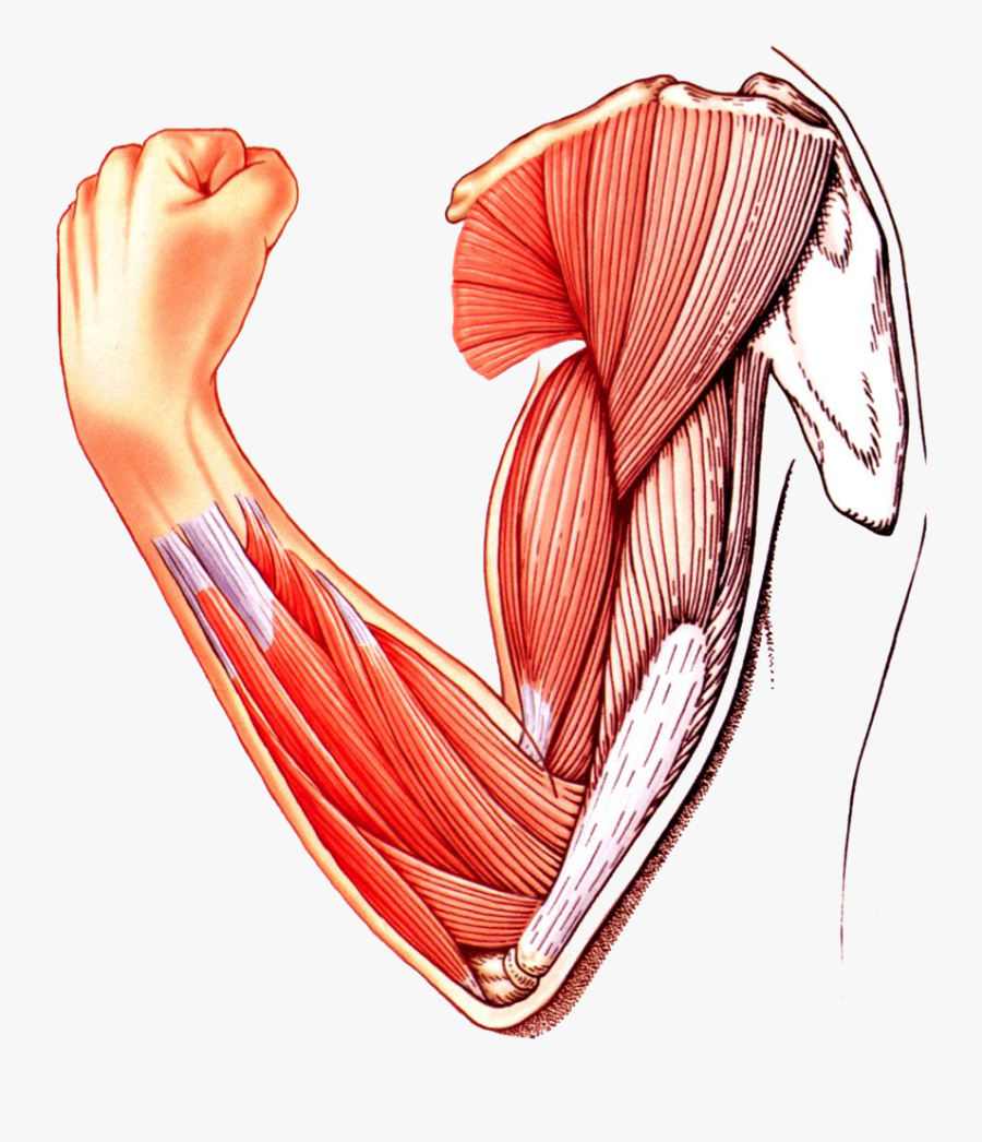 Muscle Arm Download Transparent Png Image - Skeletal Muscle Clipart Png, Transparent Clipart