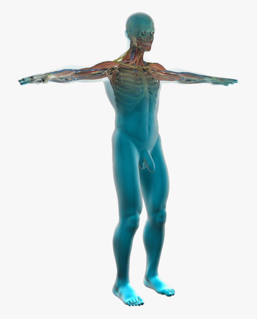 Human Anatomy - Human Body Clipart, Transparent Clipart