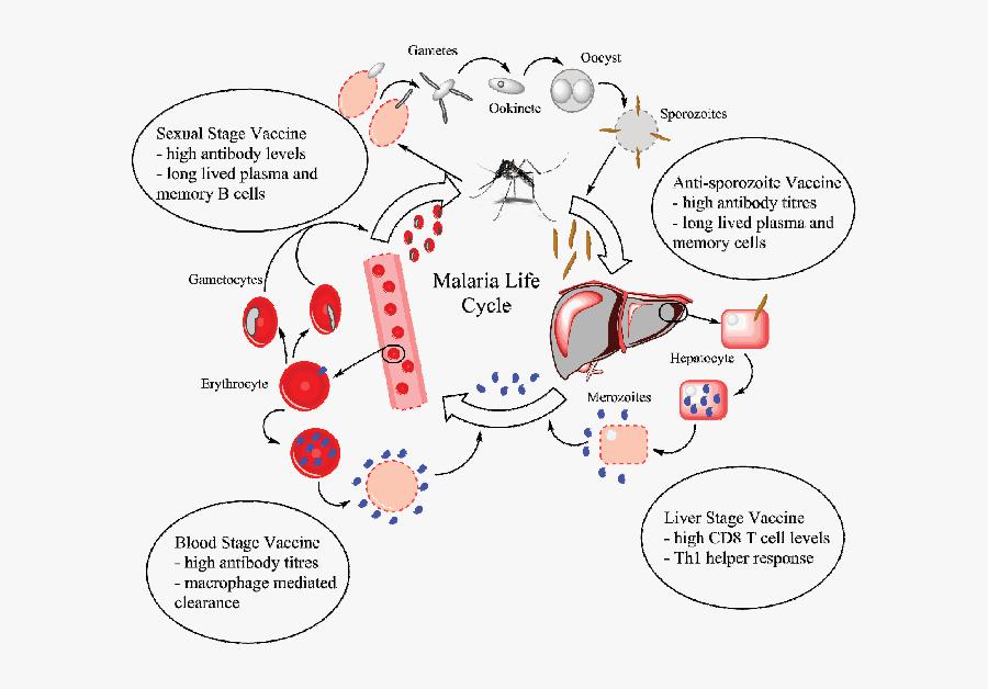 Vector Parasite Malaria - Vẽ Sơ Đồ Chu Kỳ Sinh Học Của Plasmodium, Transparent Clipart