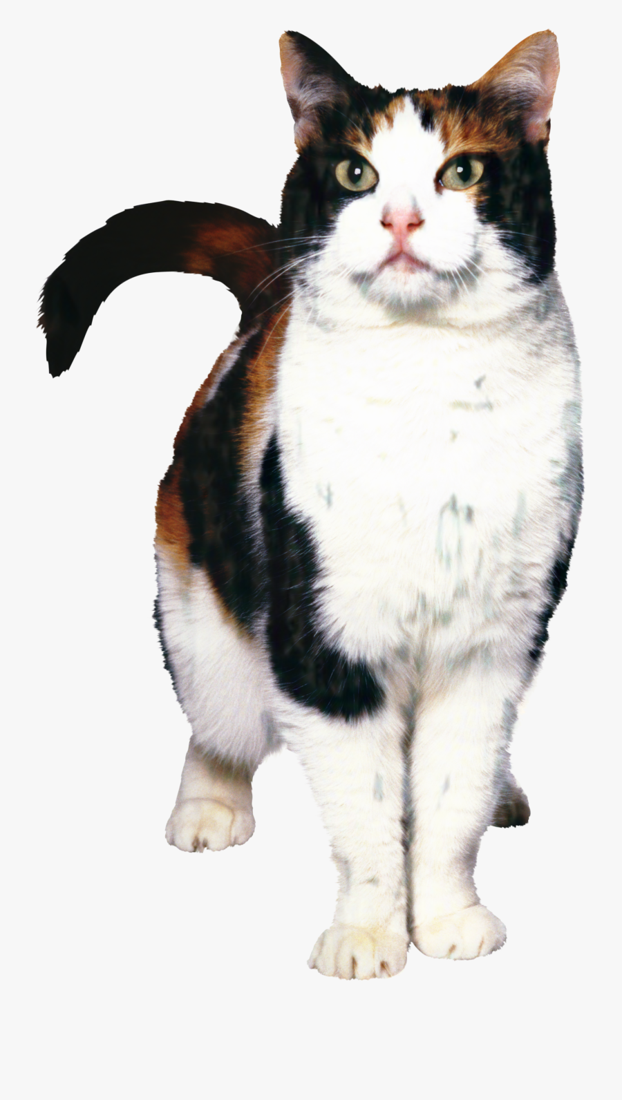 Cat Food Dog Kitten Norwegian Forest Cat Pet - Cat And Dog, Transparent Clipart