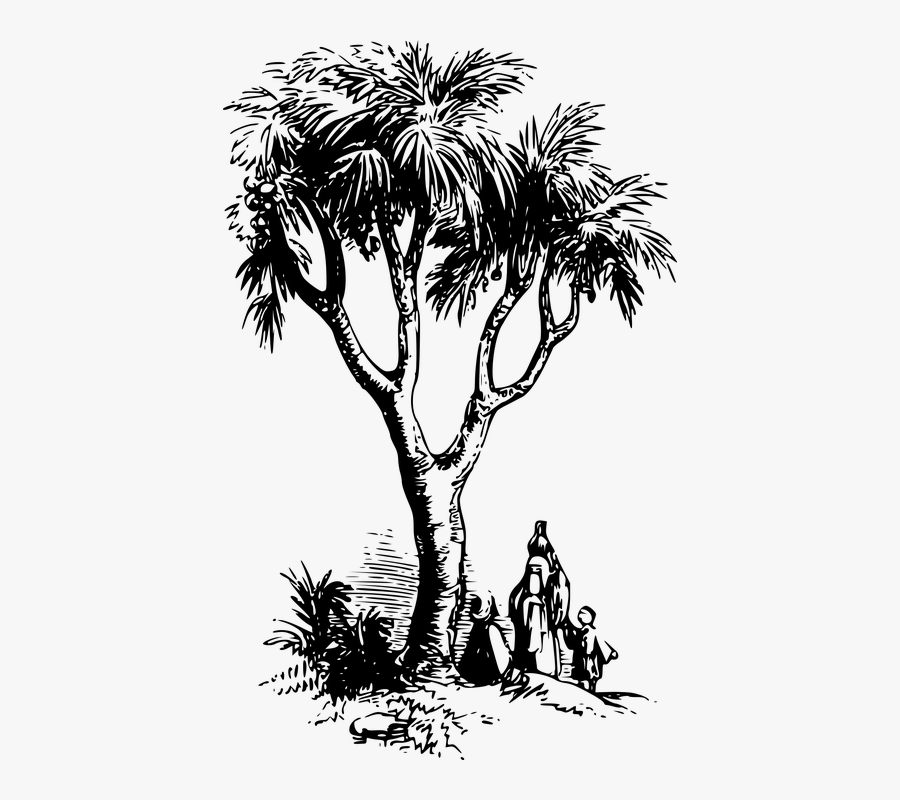 Doum Palm Tree Drawing Free Transparent Clipart Clipartkey