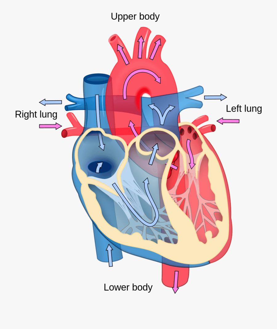 Heart Diagram - Longitudinal Section Of Heart , Free ...