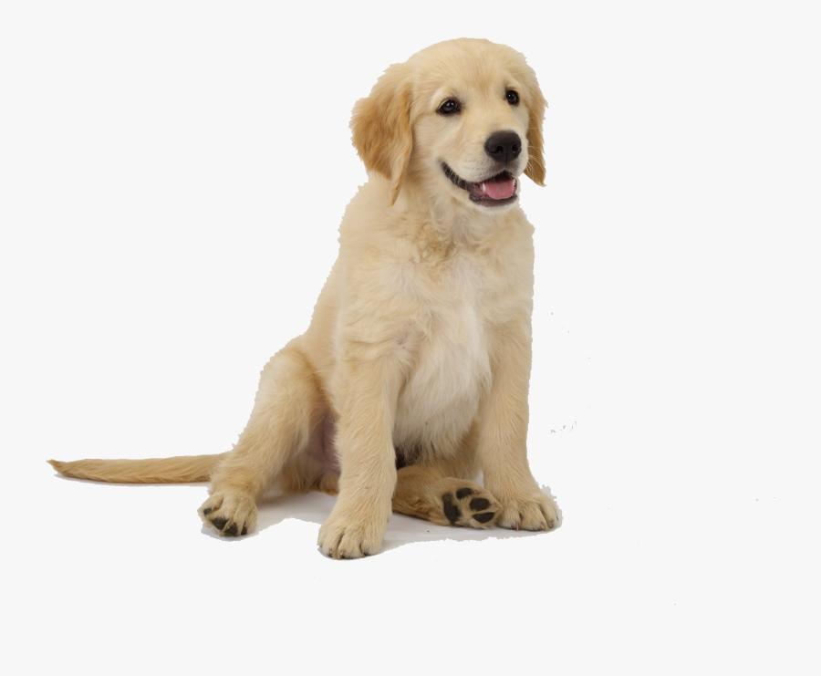 Golden Retriever Puppy Png, Transparent Clipart