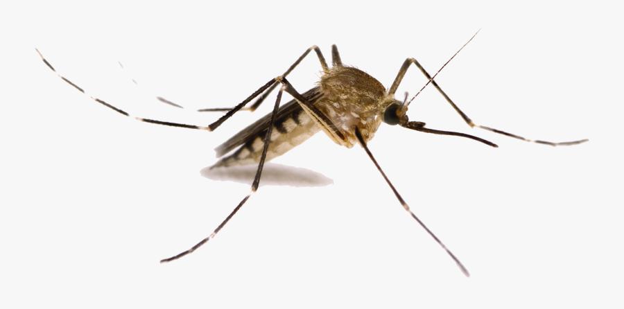 Transparent Mosquito Clipart - Mosquitoes In Utah, Transparent Clipart