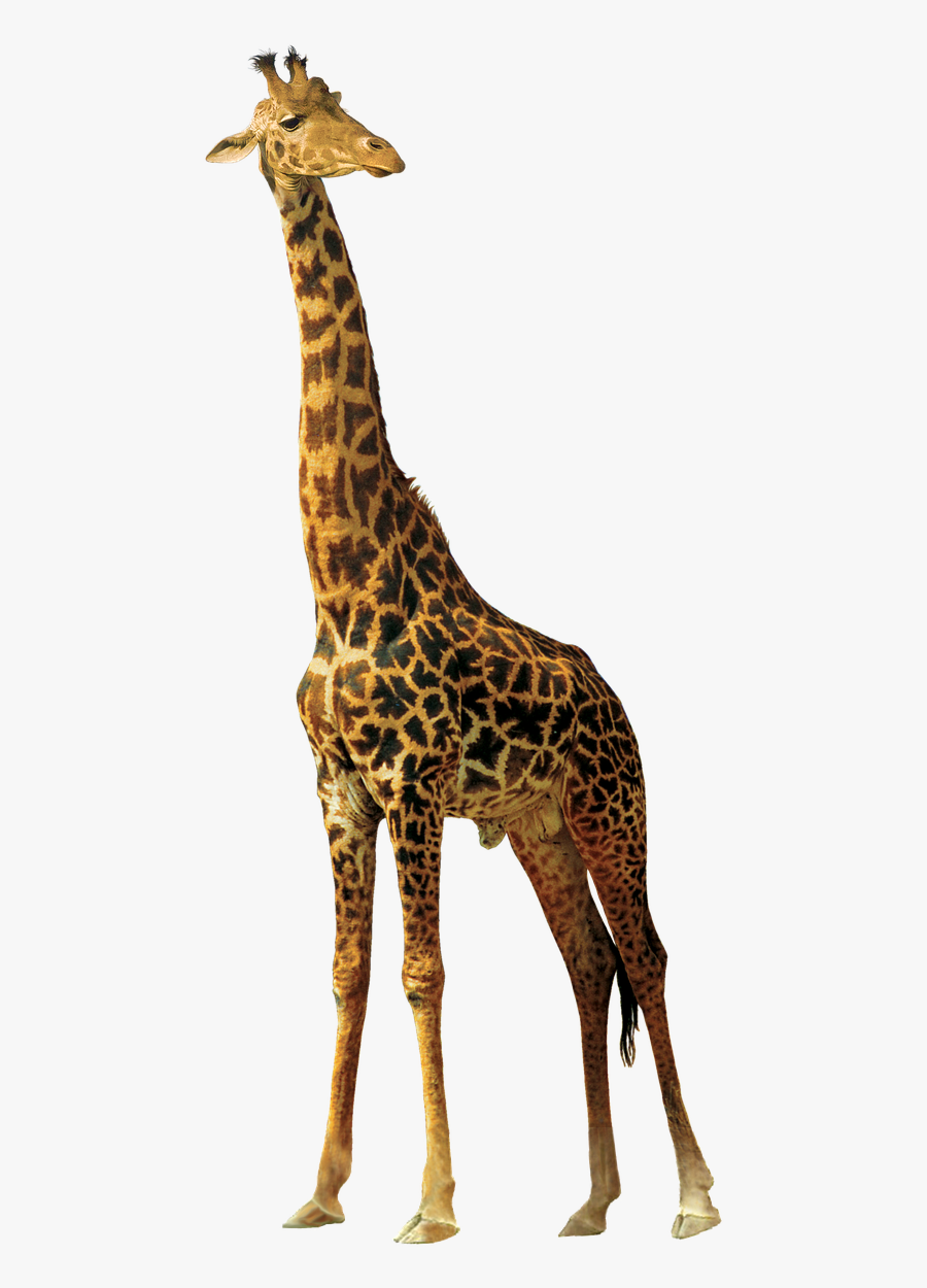 Giraffe Animals Nature Africa Png Image - Jerapah Png, Transparent Clipart