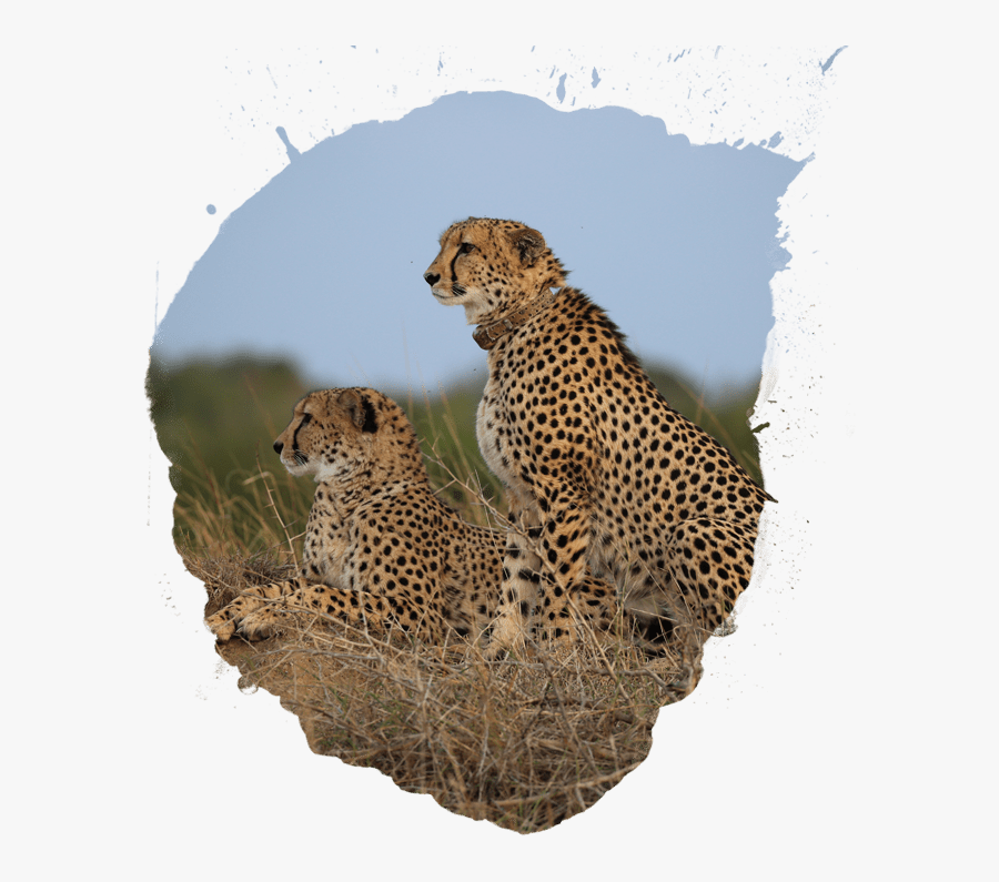 Africa Clipart Animal Population - Cheetah, Transparent Clipart