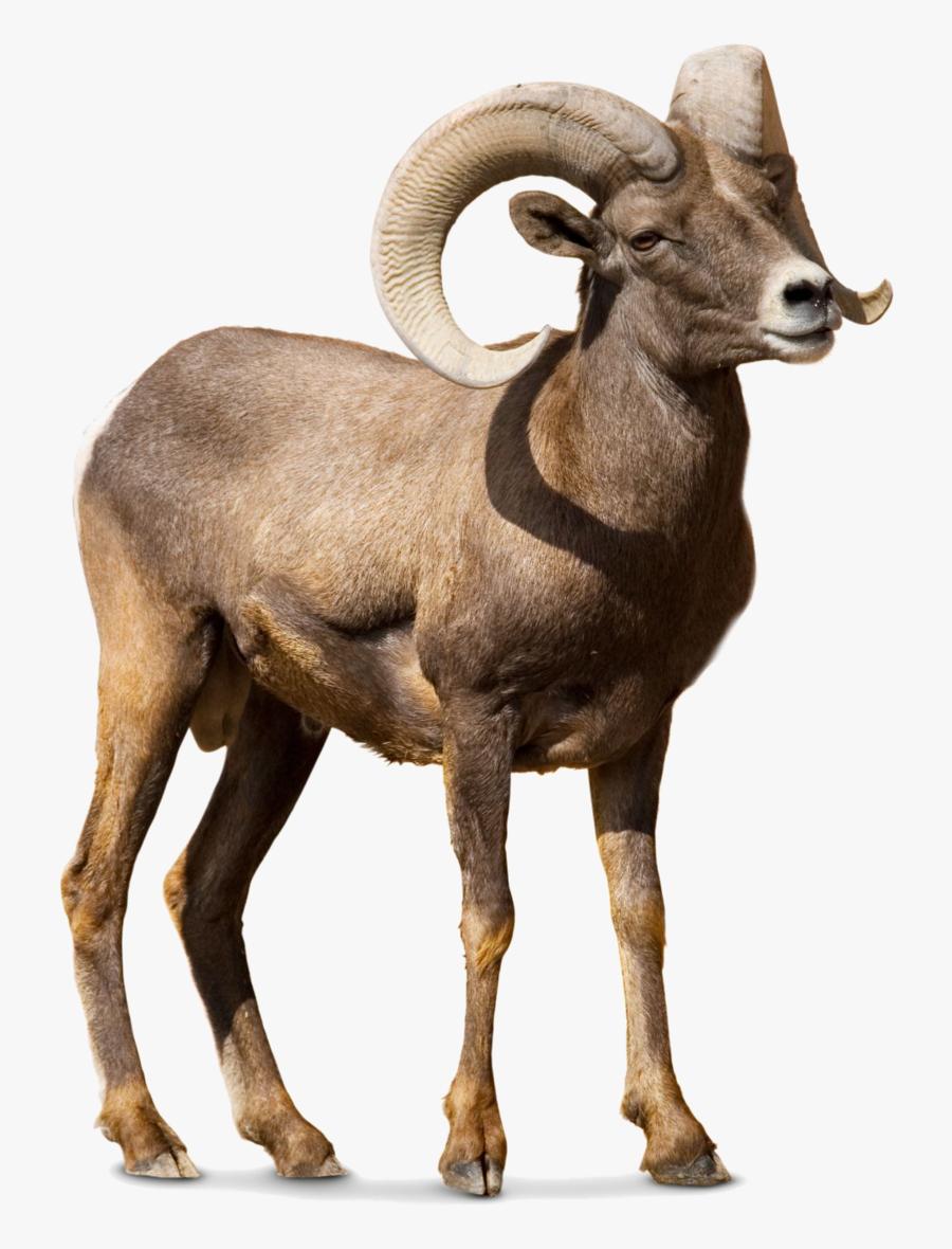 Barbary Sheep Argali Goat Cattle, Transparent Clipart