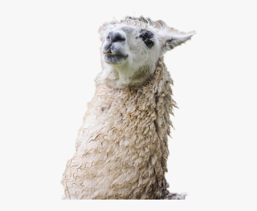 Lama Freetoedit Llama - Alpaca 4k, Transparent Clipart
