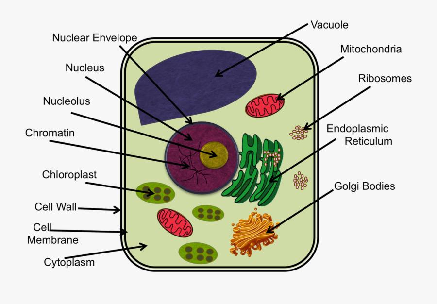 Chromatin Drawing Microvilli - Animal Cell Diagram Ixl ...
