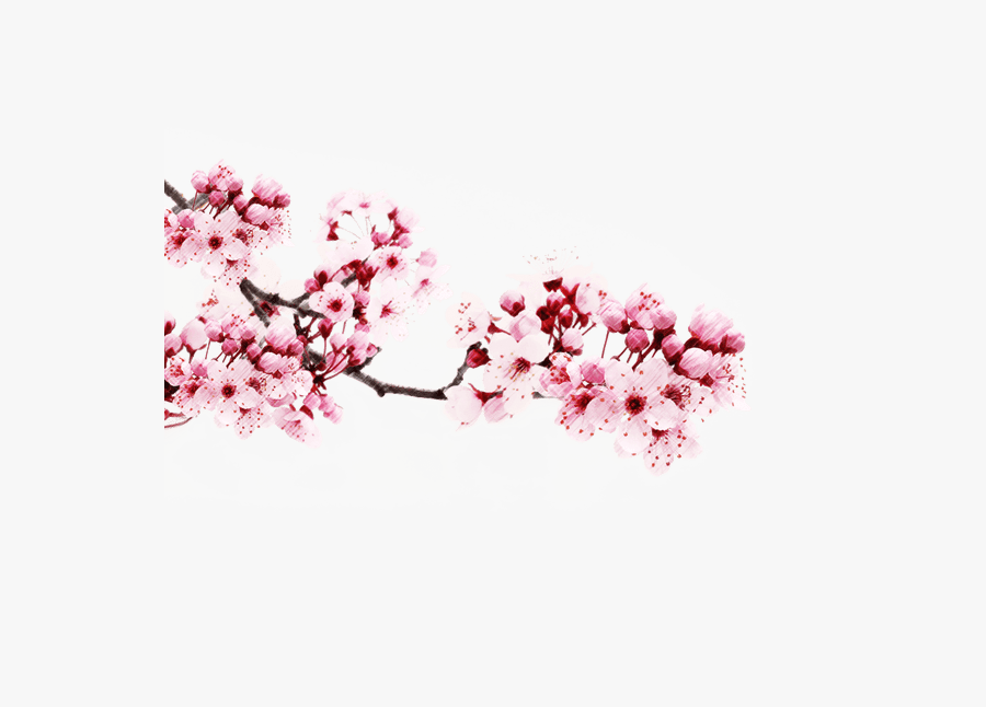 Japanese Flower Sakura Png, Transparent Clipart