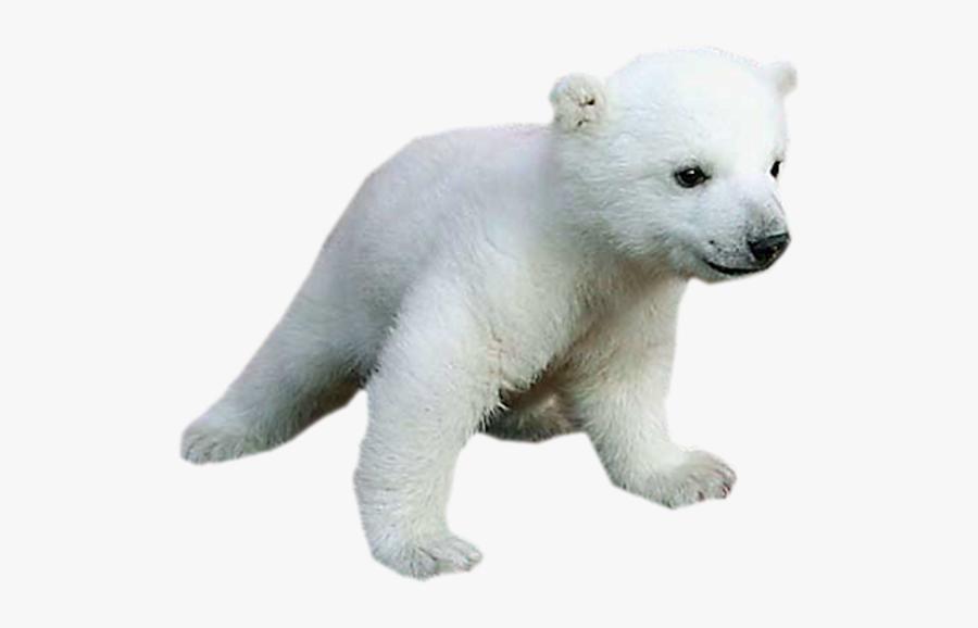 Clip Art Baby Animals Images - Png Polar Bear Transparent Baby, Transparent Clipart