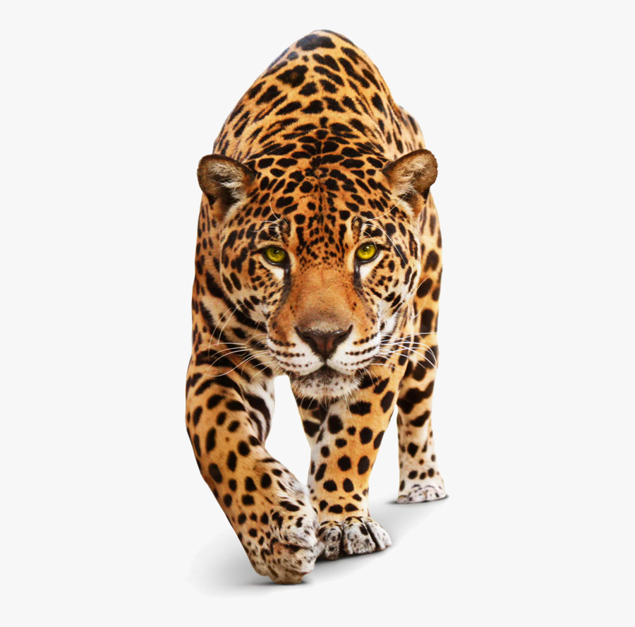 Jaguar Transparent Leopard - Cat Jaguar, Transparent Clipart