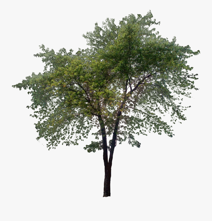 Tall Tree Png - Transparent Tall Tree Png, Transparent Clipart