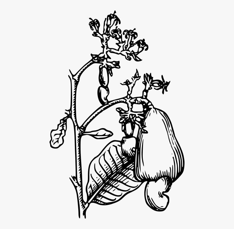 Cashew Clip Art - Drawing Of A Cashew Tree, Transparent Clipart