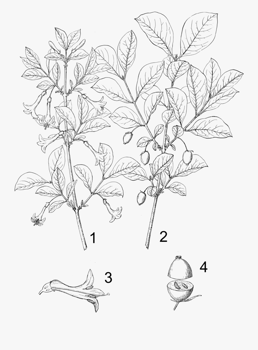 Bush Honeysuckle Plant Drawing - Bush Honeysuckle Drawing, Transparent Clipart
