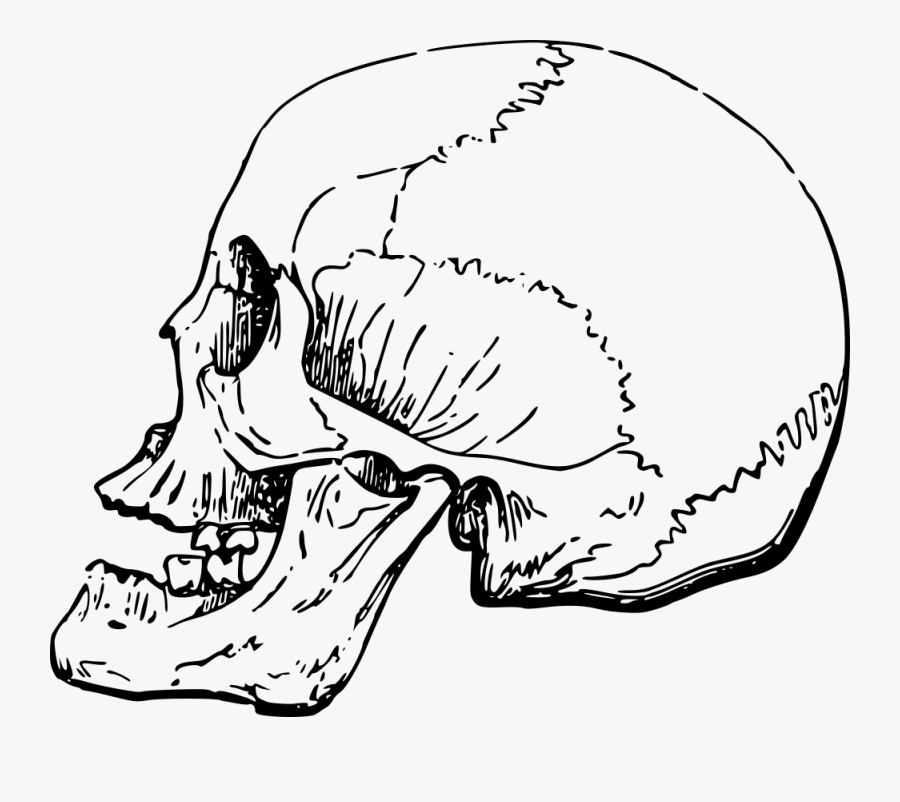 Side Skull - Human Nose Skull Side, Transparent Clipart