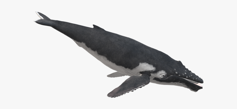 Marine Mammal,cetacea,humpback Whale,animal Whale,killer - Thick-billed Murre, Transparent Clipart