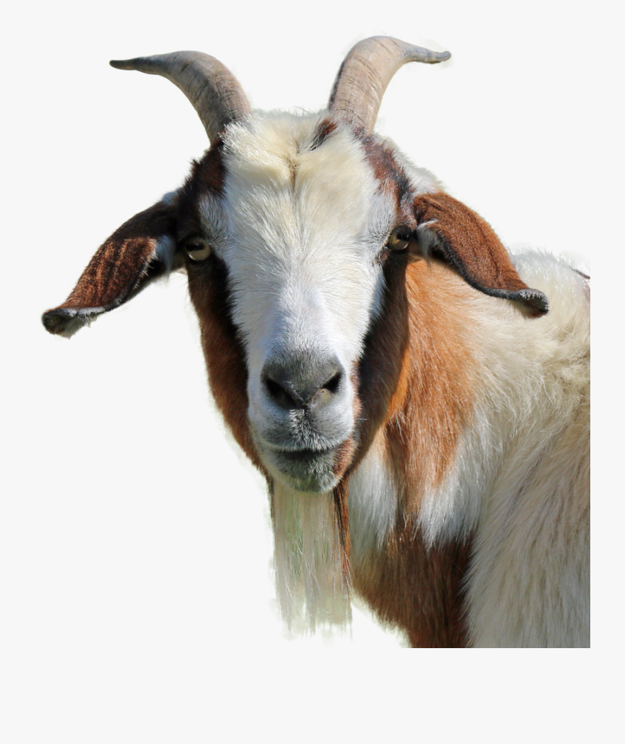 Goat Face Png - Transparent Background Goat Png , Free ...