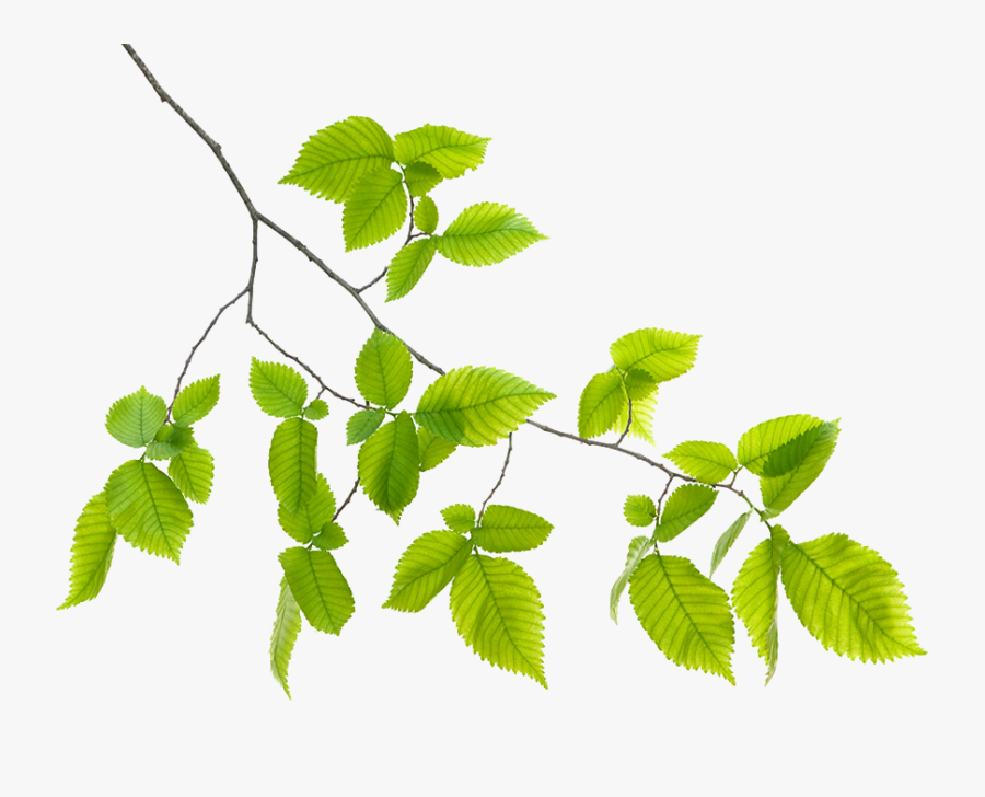 Hd Green Leaf Free - Green Leaf Branch Png, Transparent Clipart